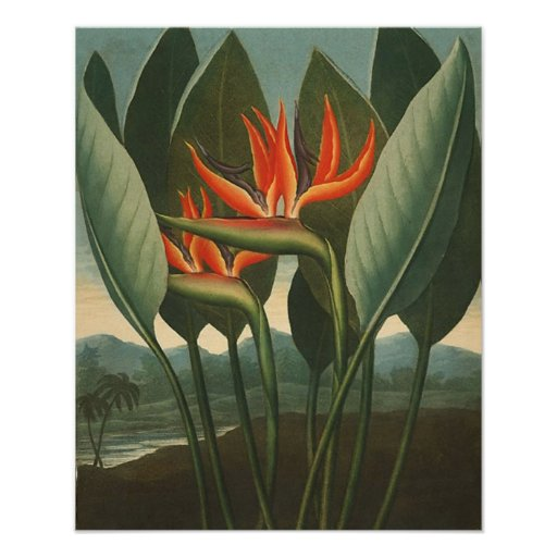 'The Queen (Bird of Paradise)' - Temple of Flora Print