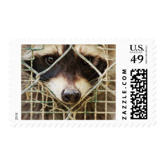 THE RACCON ON   STAMP