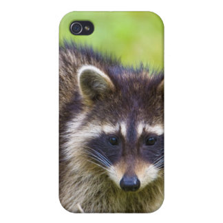 The raccoon, Procyon lotor, is a widespread, 2 iPhone 4 Covers