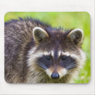 The raccoon, Procyon lotor, is a widespread, 2 Mouse Pad