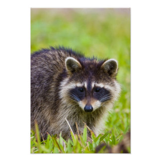 The raccoon, Procyon lotor, is a widespread, 2 Poster