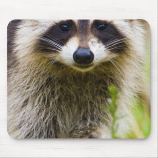 The raccoon, Procyon lotor, is a widespread, 3 Mouse Pad