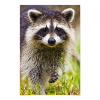 The raccoon, Procyon lotor, is a widespread, 3 Photo Print