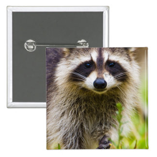 The raccoon, Procyon lotor, is a widespread, 3 Pinback Button