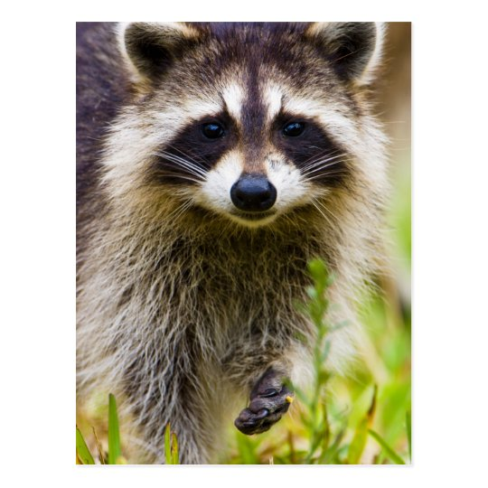 The raccoon, Procyon lotor, is a widespread, 3 Postcard
