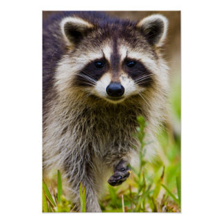 The raccoon, Procyon lotor, is a widespread, 3 Poster