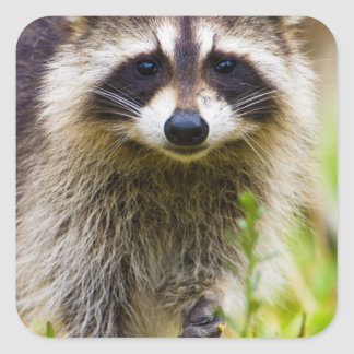 The raccoon, Procyon lotor, is a widespread, 3 Square Sticker