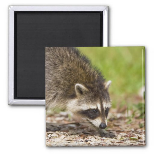 The raccoon, Procyon lotor, is a widespread, 4 2 Inch Square Magnet