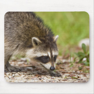 The raccoon, Procyon lotor, is a widespread, 4 Mouse Pad