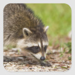 The raccoon, Procyon lotor, is a widespread, 4 Square Sticker