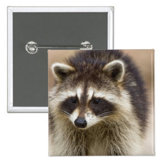 The raccoon, Procyon lotor, is a widespread, Button