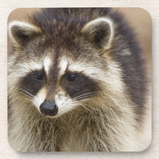 The raccoon, Procyon lotor, is a widespread, Drink Coaster