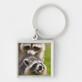 The raccoon, Procyon lotor, is a widespread, Keychain
