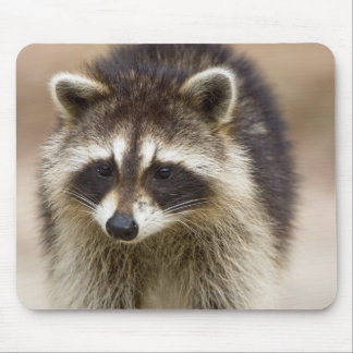 The raccoon, Procyon lotor, is a widespread, Mouse Pad