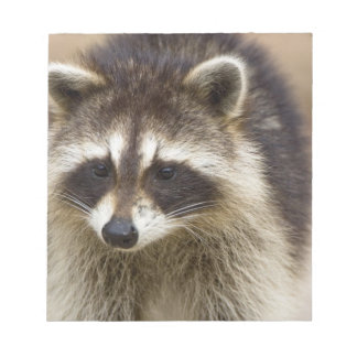 The raccoon, Procyon lotor, is a widespread, Notepad