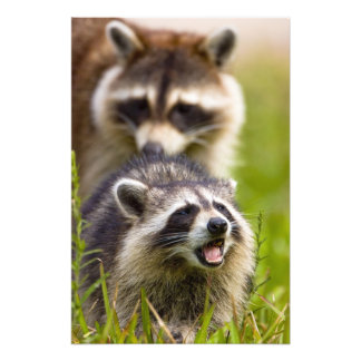 The raccoon, Procyon lotor, is a widespread, Photo Print