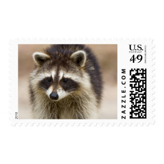The raccoon, Procyon lotor, is a widespread, Postage