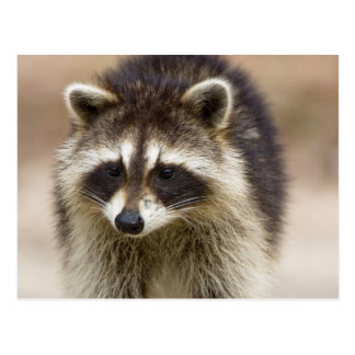 The raccoon, Procyon lotor, is a widespread, Postcard
