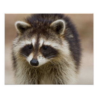 The raccoon, Procyon lotor, is a widespread, Poster
