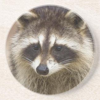 The raccoon, Procyon lotor, is a widespread, Sandstone Coaster