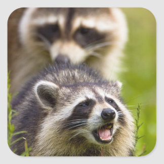 The raccoon, Procyon lotor, is a widespread, Square Sticker