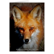 The Red Fox of Arkansas card