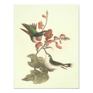 The Red-throated Hummingbird (Trochilus colubris) Card