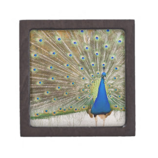 The resident male peacock fans his feathers in keepsake box