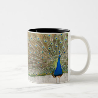 The resident male peacock fans his feathers in mugs