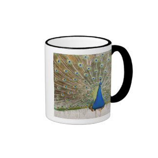 The resident male peacock fans his feathers in coffee mug