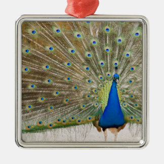 The resident male peacock fans his feathers in christmas ornament
