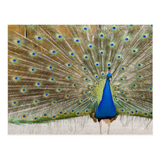 The resident male peacock fans his feathers in post cards