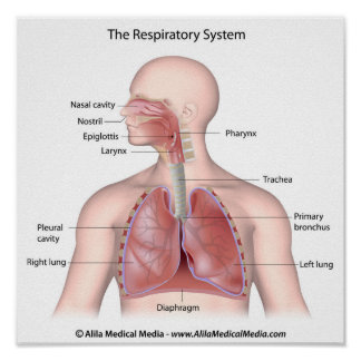 The respiratory system labeled poster