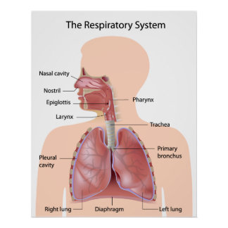 The respiratory system labeled print