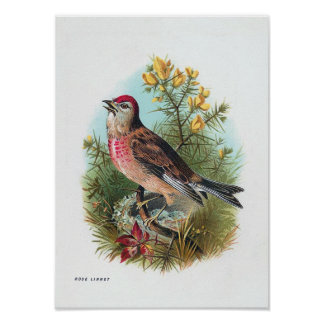 The Rose Linnet Poster