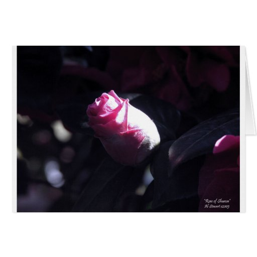 The Rose of Sharon Greeting Cards
