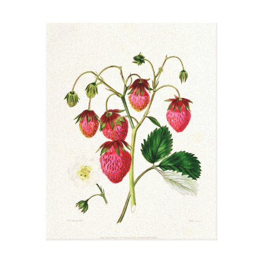The Roseberry Strawberry, engraved by Watte Canvas Print