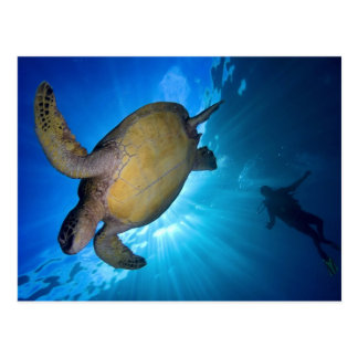 The Sea Turtle and Diver Postcard