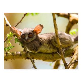 The Senegal Bushbaby (Galago Senegalensis) Postcard