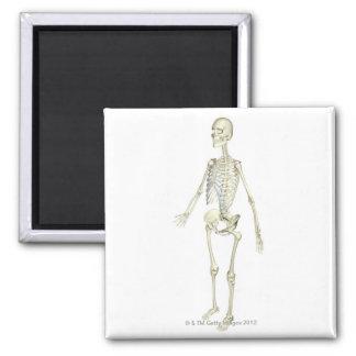 The Skeletal System Magnet