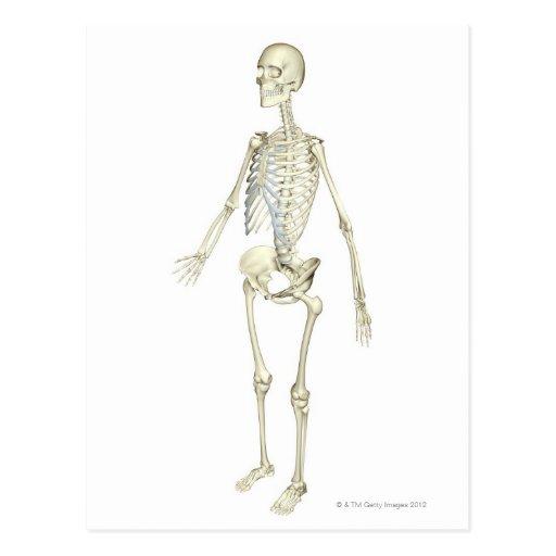 The Skeletal System Postcard