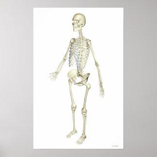 The Skeletal System Poster