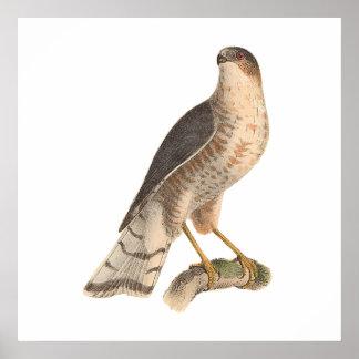 The Slate-colored Hawk Astur fuscus Posters