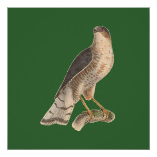 The Slate-colored Hawk	(Astur fuscus) Poster
