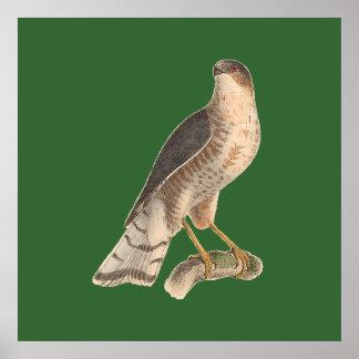 The Slate-colored Hawk Astur fuscus Print