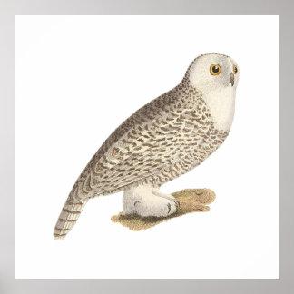 The Snow Owl(Surnia nyctea) Poster