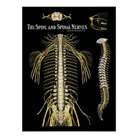 The Spine and Spinal Nerves Chiropractic Poster