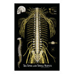 The Spine and Spinal Nerves Chiropractic Print
