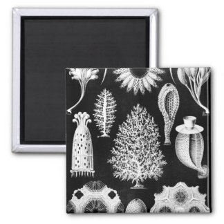 The Sponge of the Sea - Naturalist Image 1904 2 Inch Square Magnet