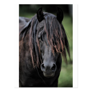 The Stallion Postcard